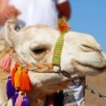 Camel portrait — Stock Photo #3514880