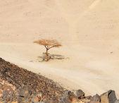 Einsamer trockenen baum in ägypten wüste — Stockfoto