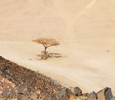 Lonely dry tree in Egypt desert — Stock Photo