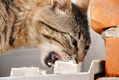 Hungry cat eating — Stock Photo