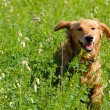 Stockfoto: Happy smiling dog