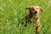 Gelukkige lachende hond — Stockfoto
