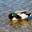 Duck on water - Hygiene — Photo