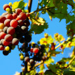 Grapes cluster over blue sky — Stockfoto