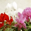 Cyclamens background — Stock Photo