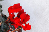Cyclamen background — Stock Photo