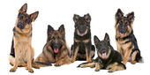 Group of German Shepherd dogs — Stock Photo