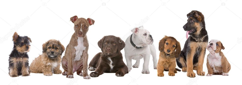 Large group of puppies on a white background.from left to right, Yorkshire terrier,mixed breed boomer, pitbull terrier,chocolate labrador,French bulldog, dachsh — Стоковая фотография #3866464