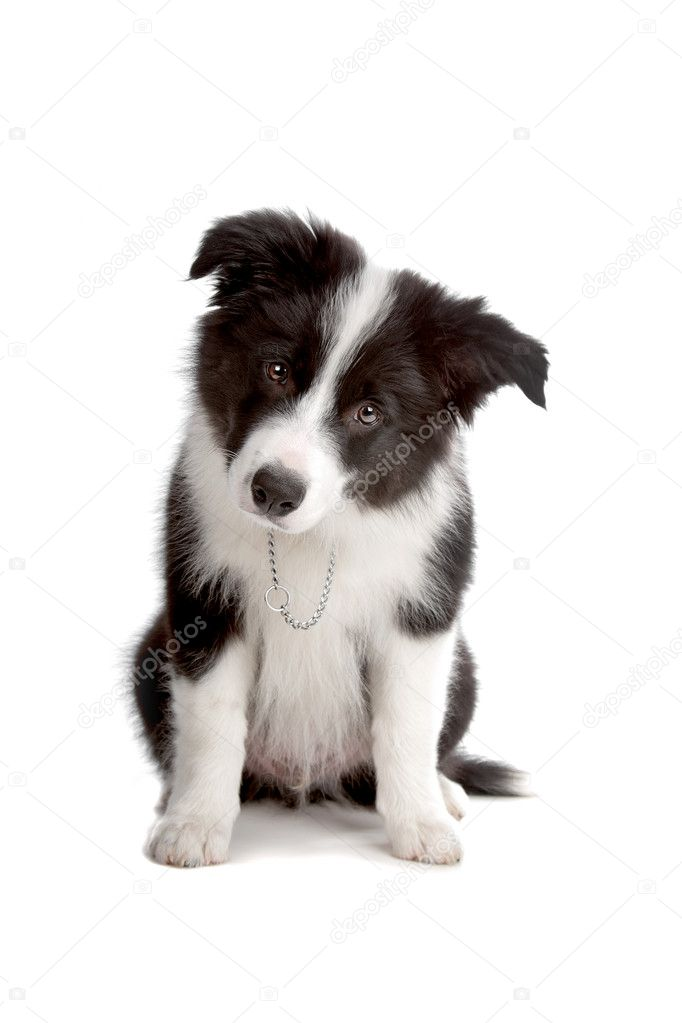 Sitting Border Collie puppy dog looking into the camera isolated on a white background  Stock Photo #3866483