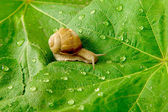 Snail and water drops on green leaves — Stock Photo