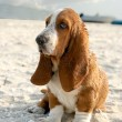 Basset hound — Stock Photo #3419434