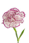 White and pink blooming carnation flower — Stock Photo