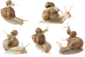 Piggy back snails — Stock Photo