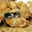 Stock Photo: Chicks