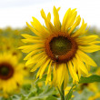 Sunflower — Stock Photo #3777752