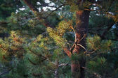 Morning Sun on Pine — Stock Photo