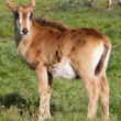 Young Roan Antelope — Stock Photo