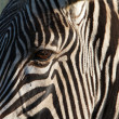 Partial Zebra Face — Stock Photo