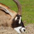 Royalty-Free Stock Photo: Antelope Head Smiling