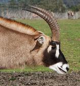 Antelope Neck and head — Stock Photo