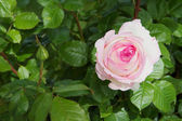 White Pink Rose — Stock Photo