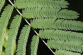 Sensitive Leaves Branch — Stock Photo