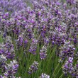 Stock Photo: Lavender Field Vertical Far