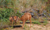 Fawn and Doe — Stock Photo