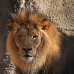 Lions head — Stock Photo