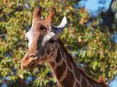 Giraffe right look — Stock Photo