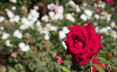 Red rose white rose backround b — Stock Photo
