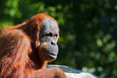 Red Orangutang — Stock Photo