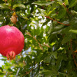 Pomegranate in a Tree — Stock Photo