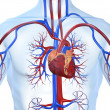 Vascular system - Stock Photo