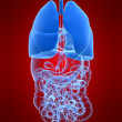 Human lung - Stock Photo