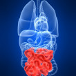 Highlighted small intestines - Stock Photo
