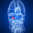 Highlighted gallbladder — Stock Photo