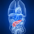 Foto Stock: Highlighted pancreas