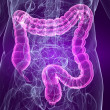 Human colon — Stock Photo