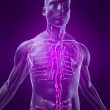 Human lymphatic system — Stock Photo