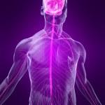 Human nervous system — Stock Photo