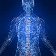 Stock Photo: Humlymphatic system