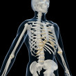 Stock Photo: Human skeleton