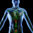 Lymphatic system — Stock Photo #2896656