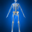 Human skeleton - Stock Photo