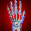 Skeletal hand — Stock Photo #2898143