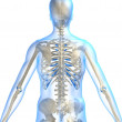 Skeletal back - Stock Photo