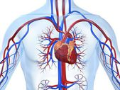 Vascular system — Stock Photo