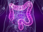 Human colon — Stock Photo