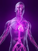 Human vascular system — Stock Photo